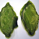 Man-Made Biological Leaf