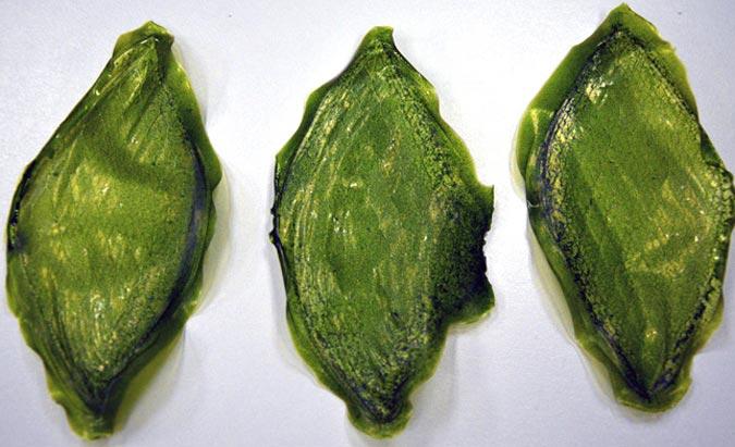 Man-Made Biological Leaf
